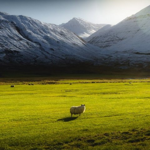 A lone sheep in autumn in Iceland
